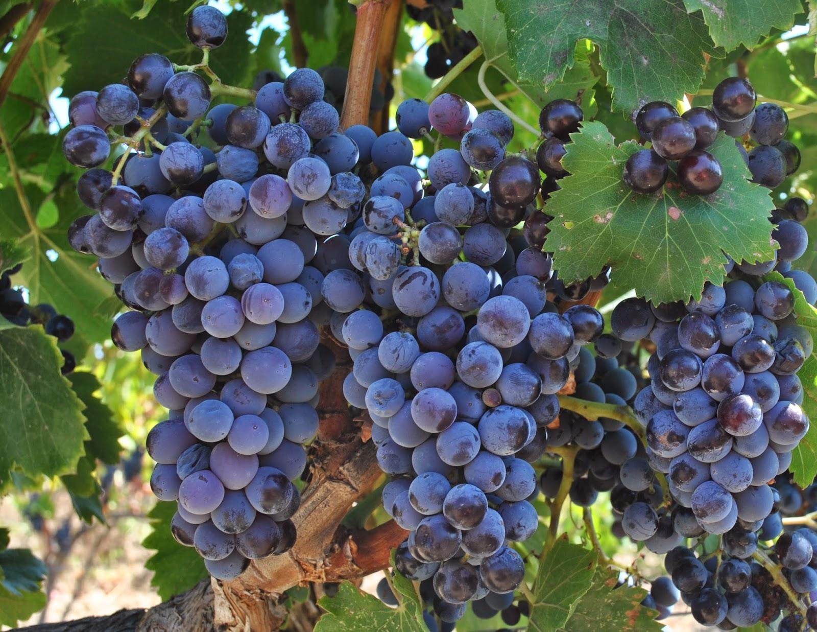 grapesvine