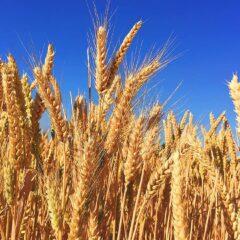 wheat-grass-barley-autumn-harvest-nature-natural-hops