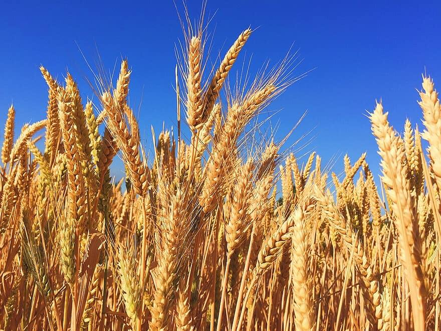 wheat-grass-barley-autumn-harvest-nature-natural-hops