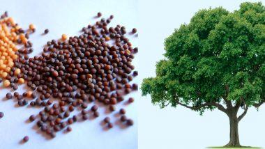 mustard seed/plant